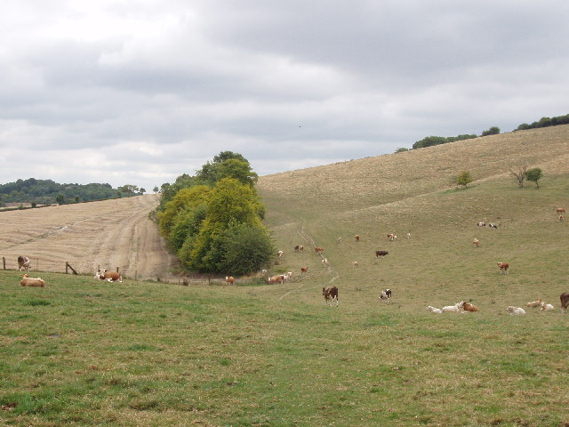 Ridgeway Path, cattle and pasture near Bledlow