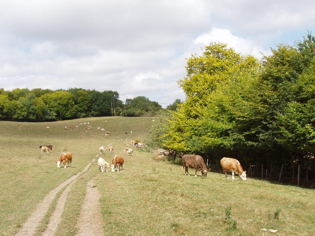 Cattle and pasture near Wain Hill