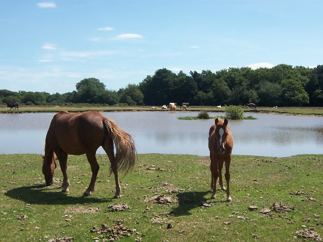 New Forest ponies at Longcross Pond
