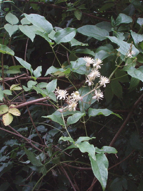 Old Man's Beard - Clematis vitalba - on Wain Hill