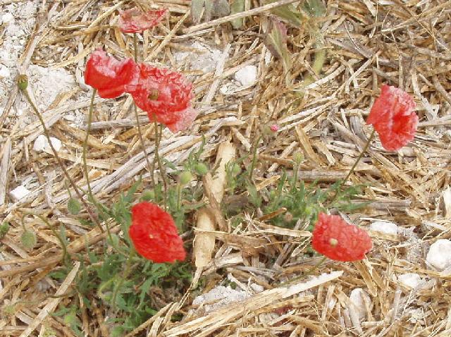Poppies in a cut cornfield, near Bledlow