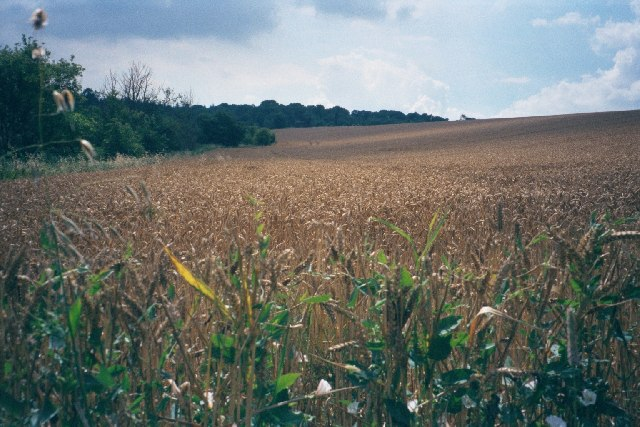 Cornfield near Walcot