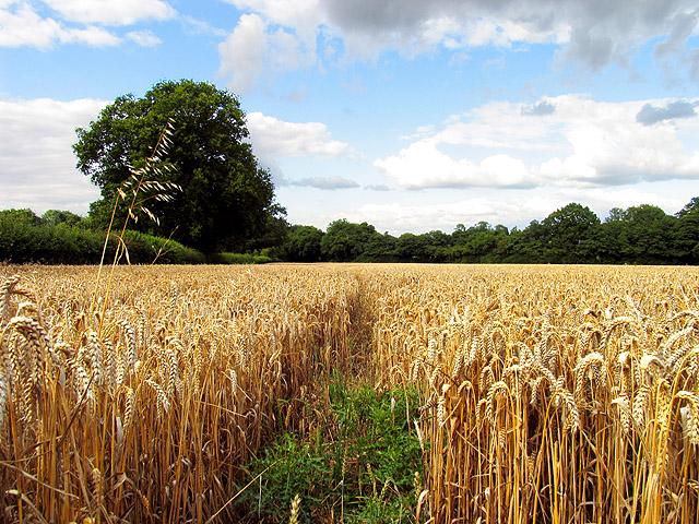 Barley Field near Ecchinswell