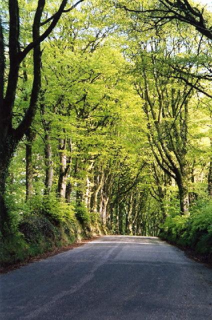 Bridestowe: avenue of beeches