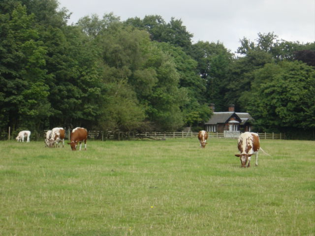 Rare breed cows in Croxteth Country Park