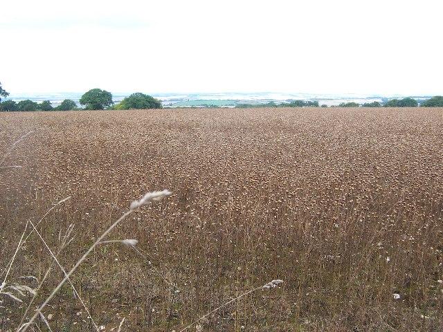 Flax field near Kings Somborne