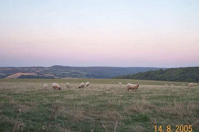 Bridford sheep