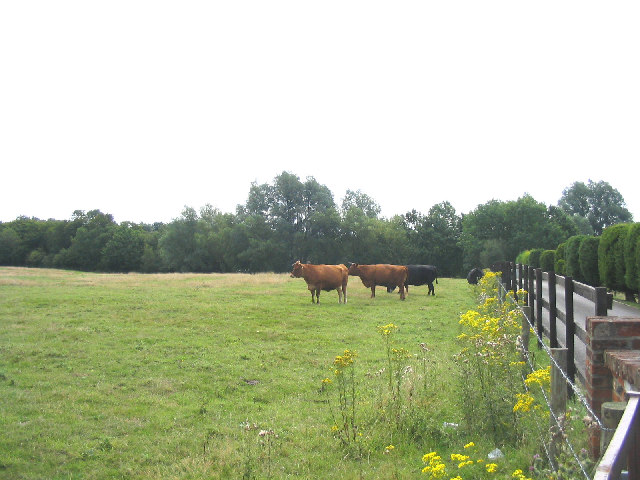 Grazing Cattle, Doddinghurst Place, Essex