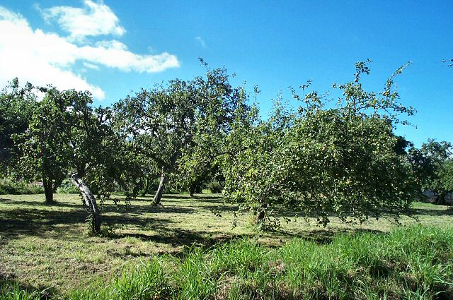 Apple orchards - Dunsford