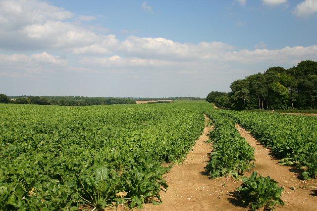 Farmland south of Cavenham