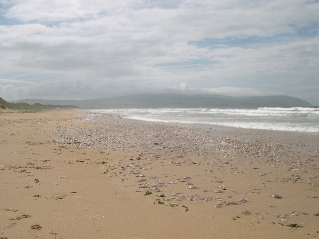 An Invasion of Jellyfish on Westport Beach