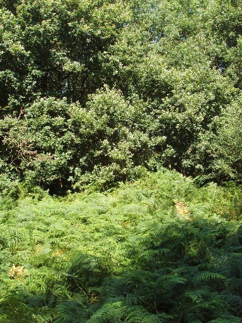 Oak trees and bracken on Summer Heath