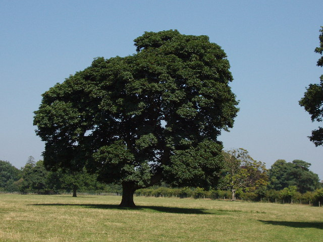 Sycamore Tree in Turville Park