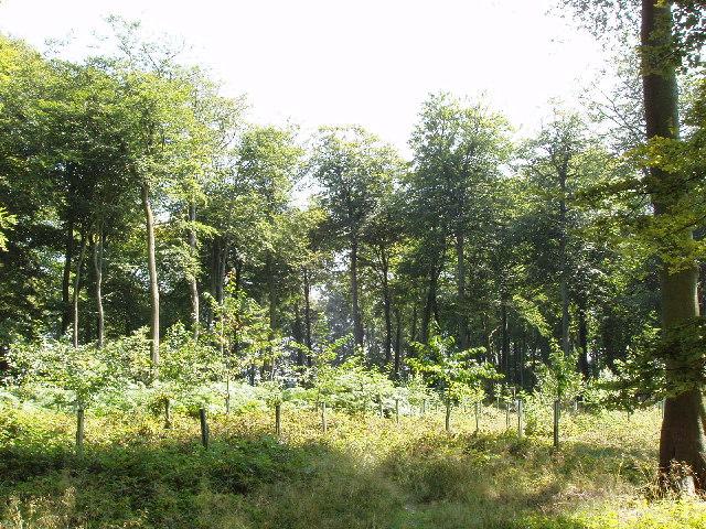 Beech trees at Summer Heath