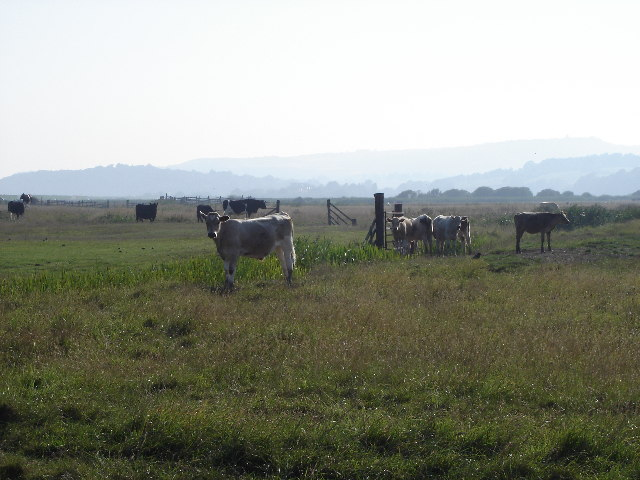 cattle on Pett Level - view towards the higher ground to the north