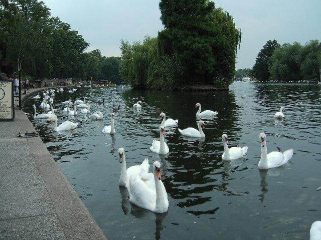 Swans on the river at Windsor