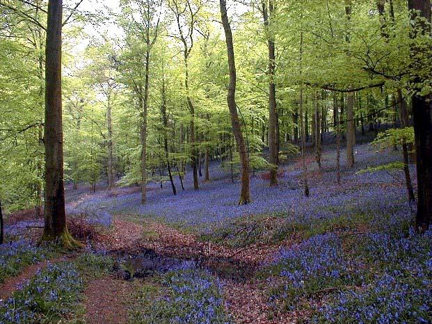 Bluebells near Wenchford