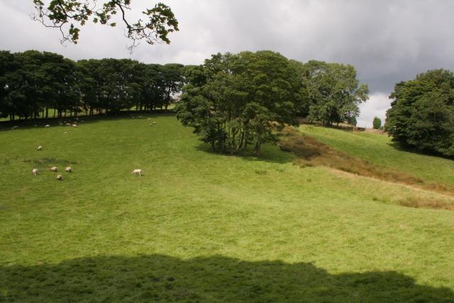 Sheep grazing, Midgley