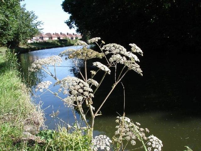 Wild Angelica - Angelica sylvestris - Bridgewater Canal, Grappenhall