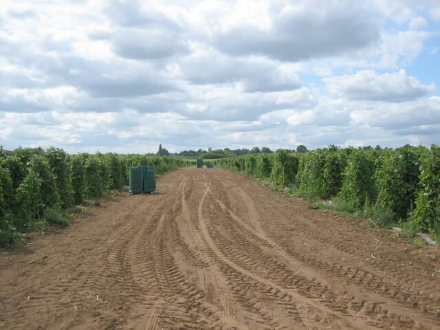 Field of runner beans near Fernhill Farm, Charlton