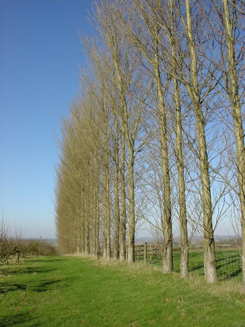 Poplar Trees, Machine Farm