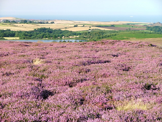 Heather in Full Bloom, Stanghow Moor