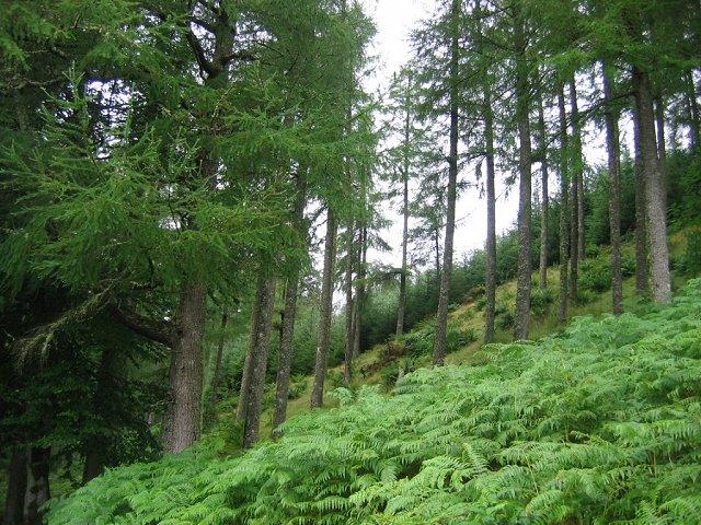 Larchwoods, Coire Rainaich Mor