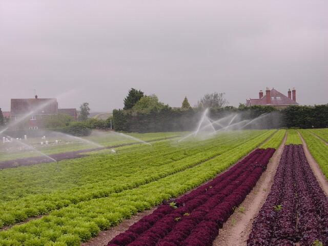 Field of lettuce, Upper Moor