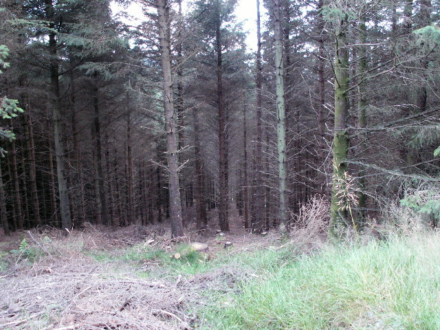 Forestry near Llyn Conach
