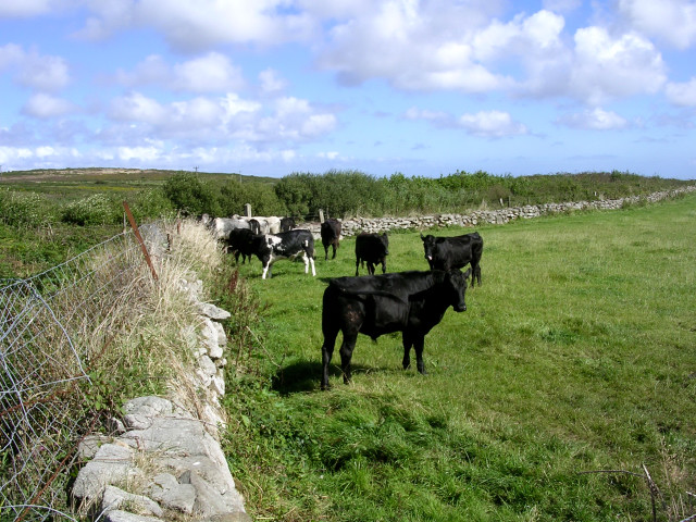 Bullocks below Caer Bran
