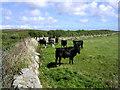 SW4029 : Bullocks below Caer Bran by Jim Champion
