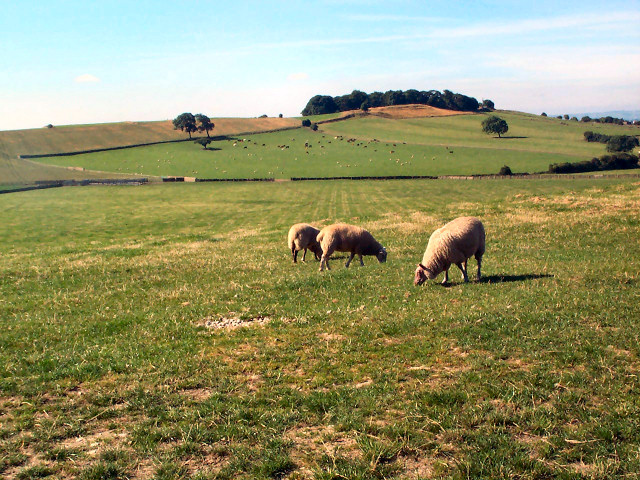 Sheep pastures behind The Billing