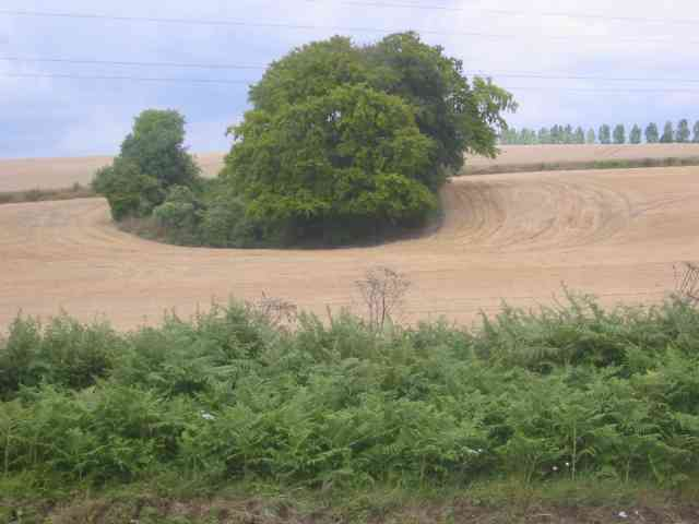 Clump of Trees in Gaddesden Lane.