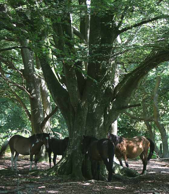 New Forest ponies find shade in Bratley Wood