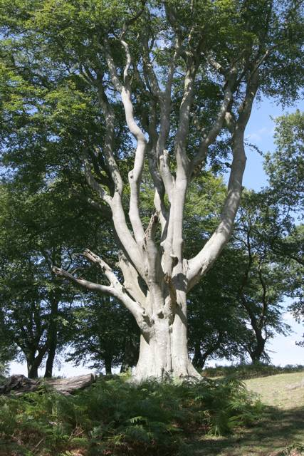 Mature Beech tree in Soarley Beeches