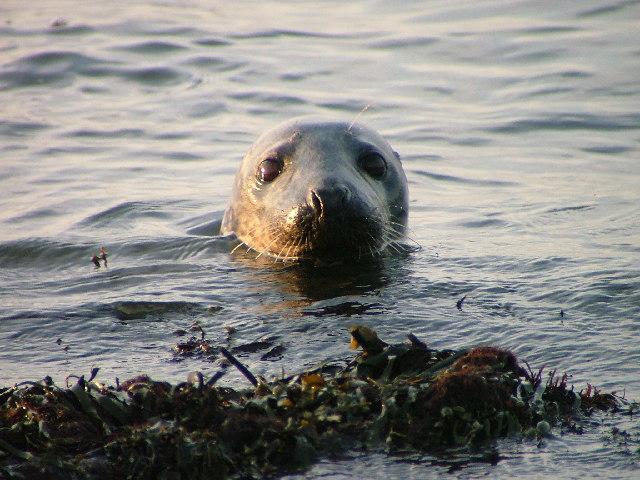 Grey (?) Seal at Ravenscar