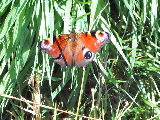 This is a PEACOCK butterfly :-)
