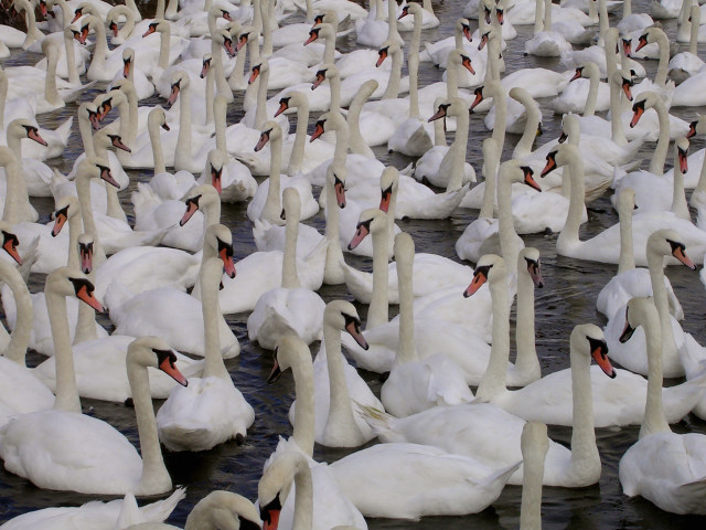 The swans at Abbotsbury Swannery