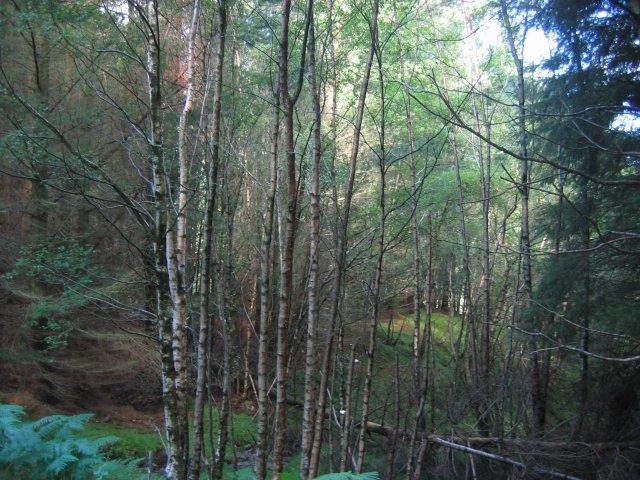 Forest, Gleann Ghoinean.