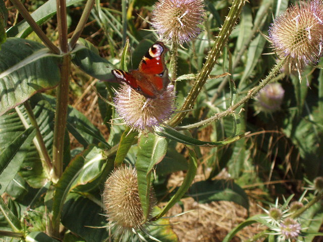 Peacock butterfly on teasels, near Towersey