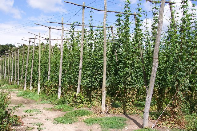 Hop garden at Syndale Farm, Kent