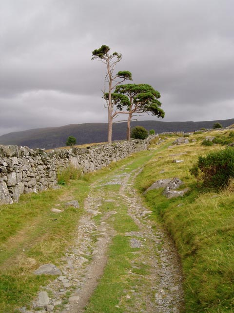 Scots pines by the track above Pont Fadog