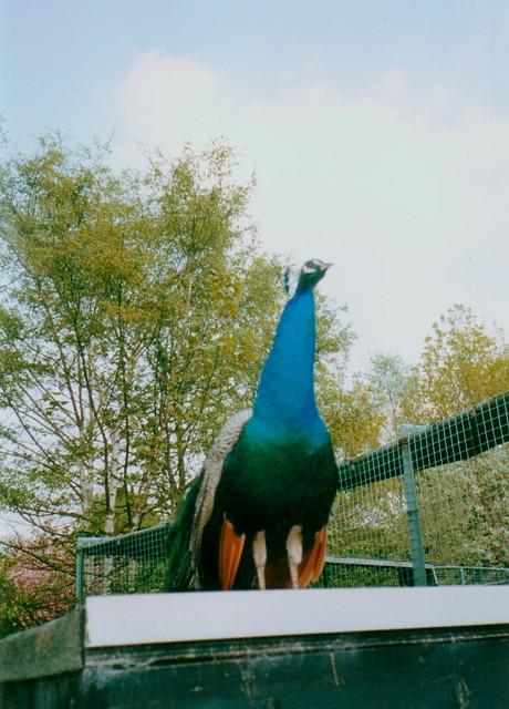 Peacock at the Birmingham Nature Centre, Pershore Road