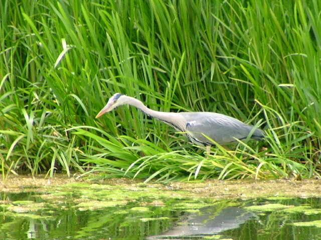 Heron at Billingham Beck Country Park