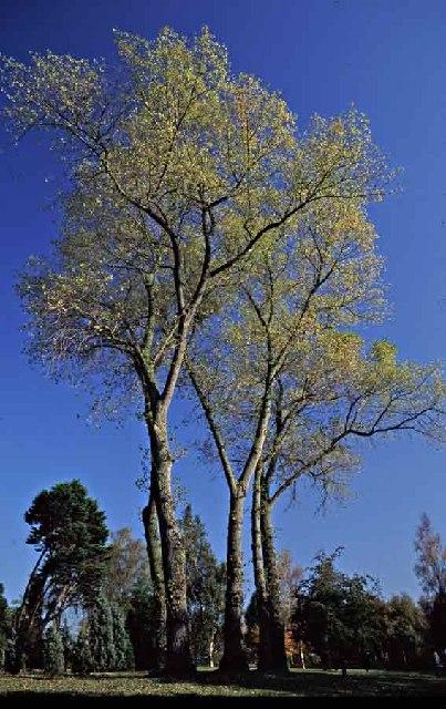 Hornbeams at West Lodge Park Arboretum