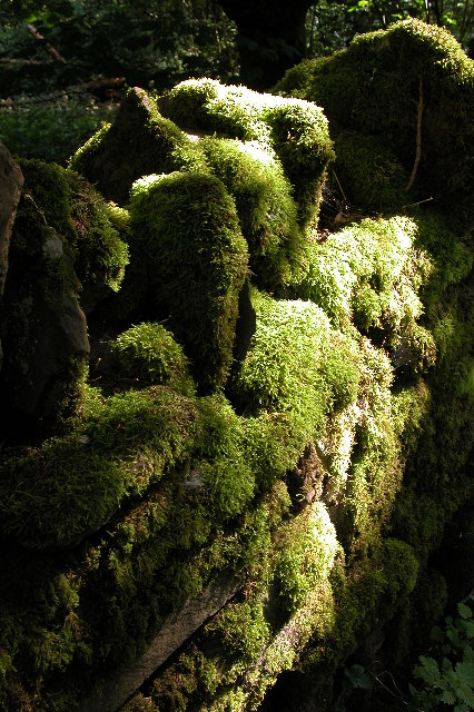 Moss in Caer Wood