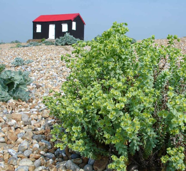 Hut with Sea Spurge