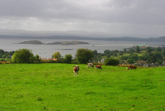Ayrshires in Fife.