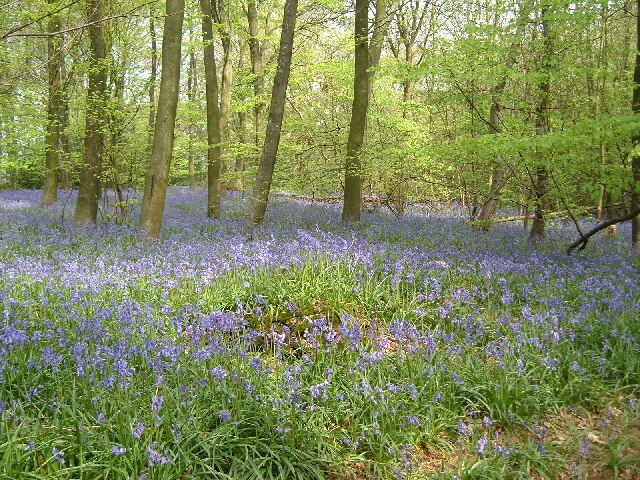 Bluesbells  in Abbots Wood