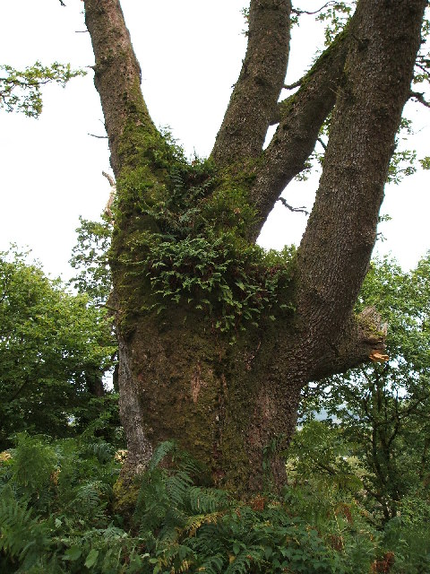One of the Lochwood Oaks
